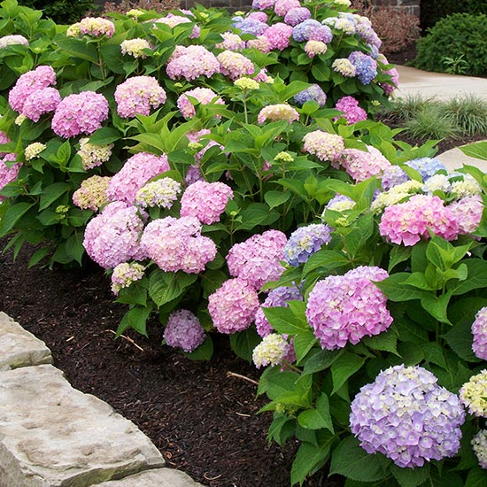 ENDLESS SUMMER SERIES HYDRANGEA