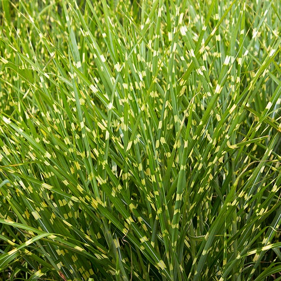 VARIEGATED PERENNIAL GRASSES